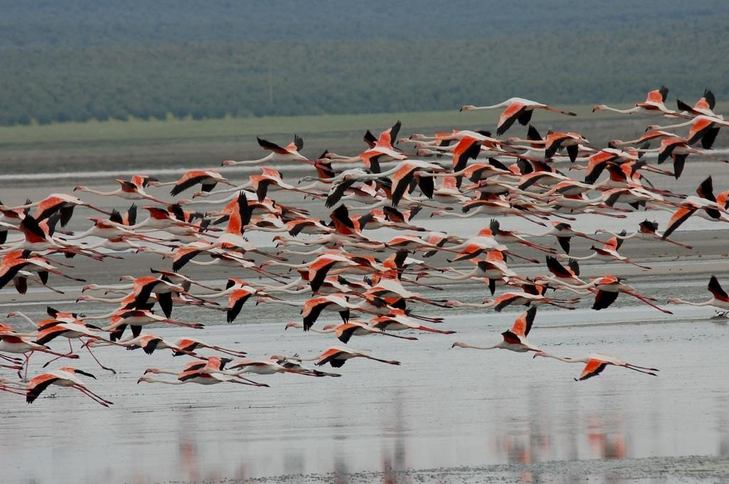 The Flamingos In Flight