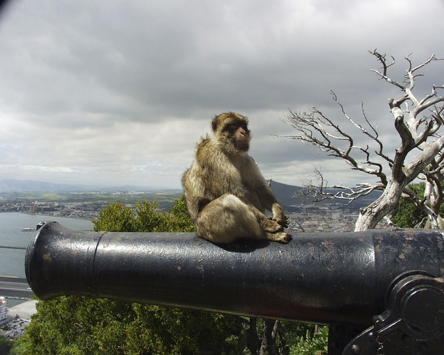 The Barbary Ape on Gibraltar
