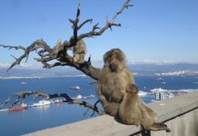 Monkeys on Gibraltar