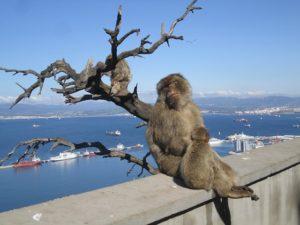 Monkeys on Gibraltar