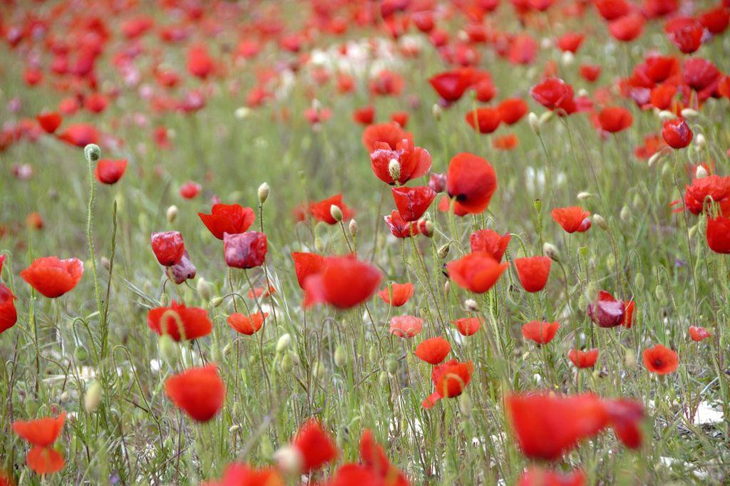 sierra-maria-los-velez-poppies