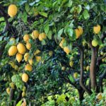 Lemons in the Lush Lecrin Valley