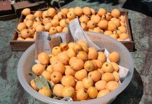 Loquat or Nispero Fruit